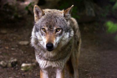 Relato El lobo en la puerta
